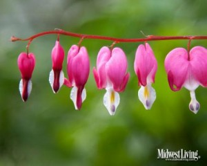 Bleeding Hearts  These romantic flowers have a not-so romantic name: bleeding hearts. These pink and white blooms come from a Bayfield, Wisconsin, garden.