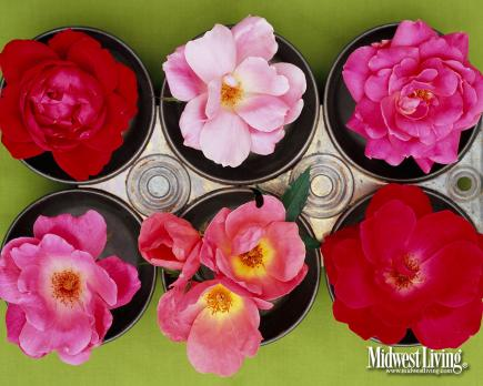 Knock Out Roses  Easy-to-grow Knock Out roses look lovely on your desktop at Valentine's Day — and beautiful in your garden from late spring through fall.